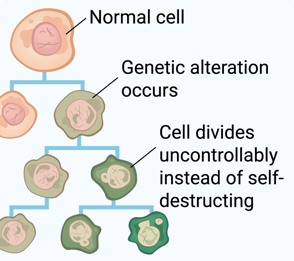 normal cell with genetic alteration dividing uncontrollably becoming cancerous