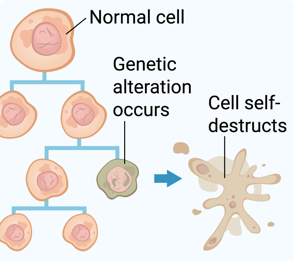 normal cell with genetic alteration dividing then cell self-destructs normally